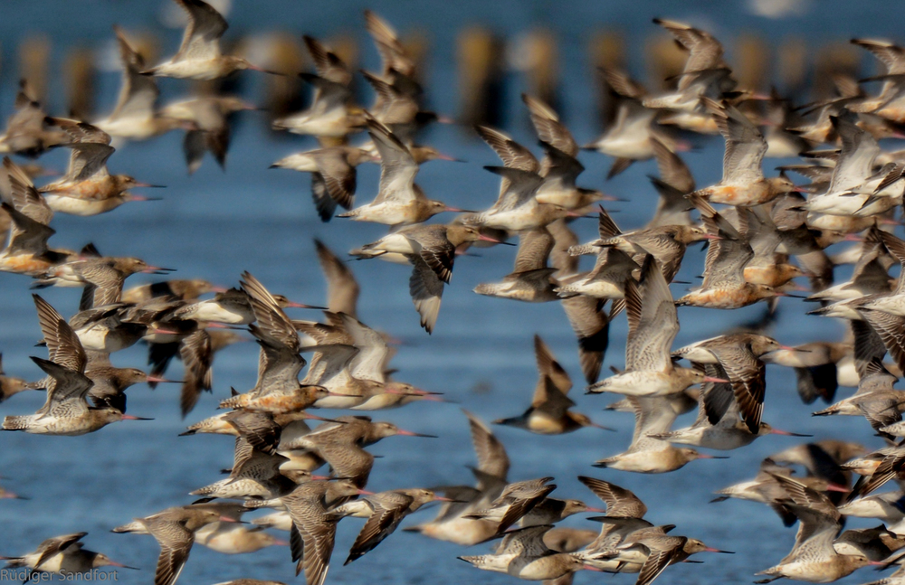 Bar-tailed Godwit / Phuhlschnepfe