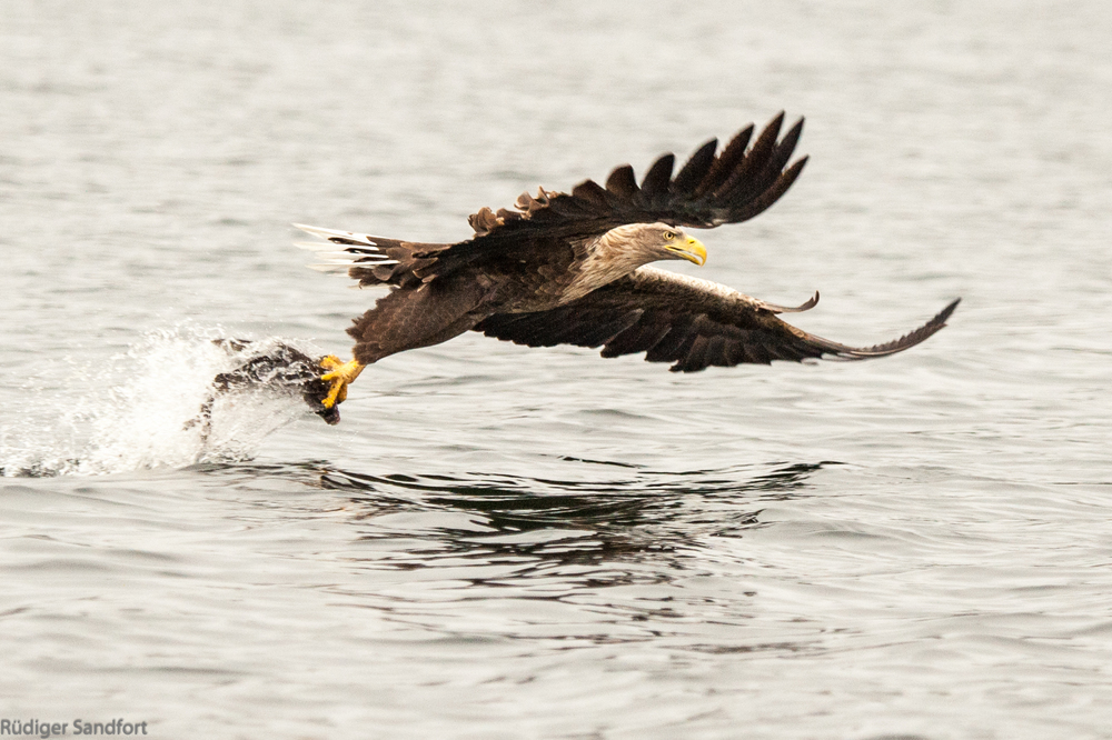 White- tailed Eagle / Seeadler
