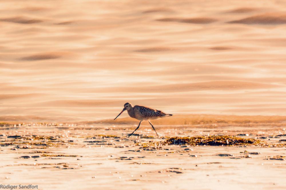 Black-tailed Gotwit / Uferschnepfe