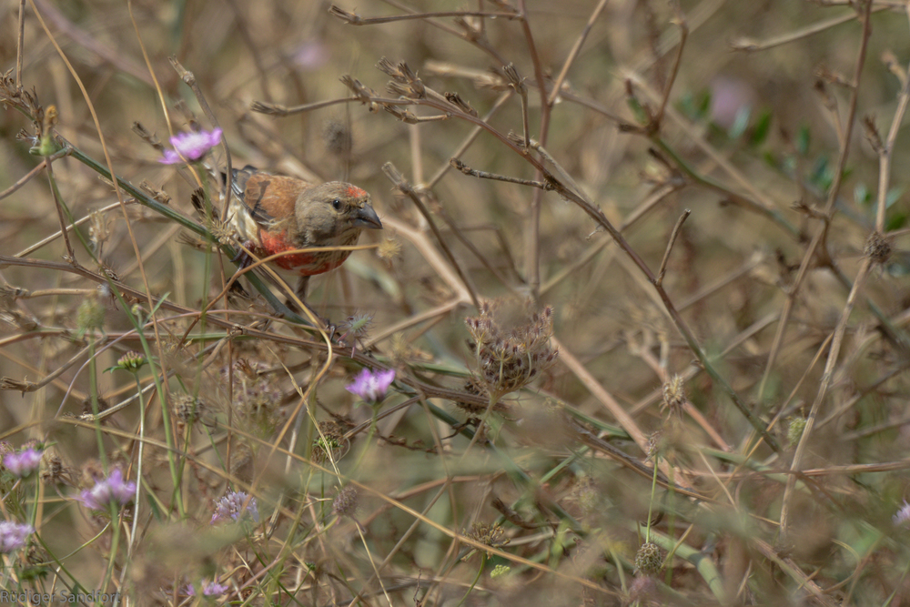 Common Linnet / Bluthänfling