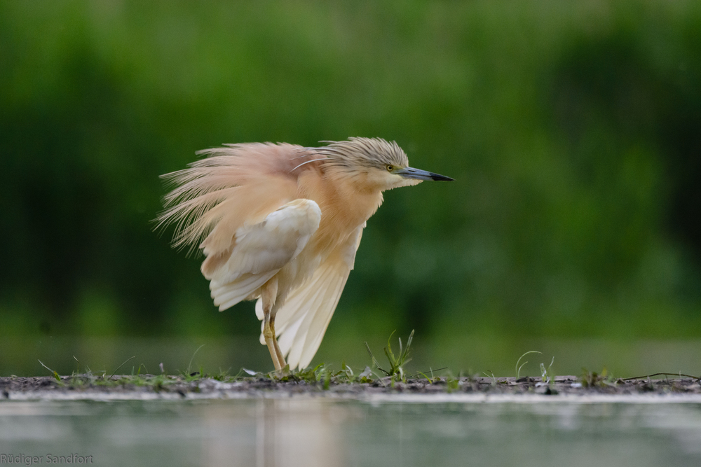 Squacco Heron / Rallenreiher