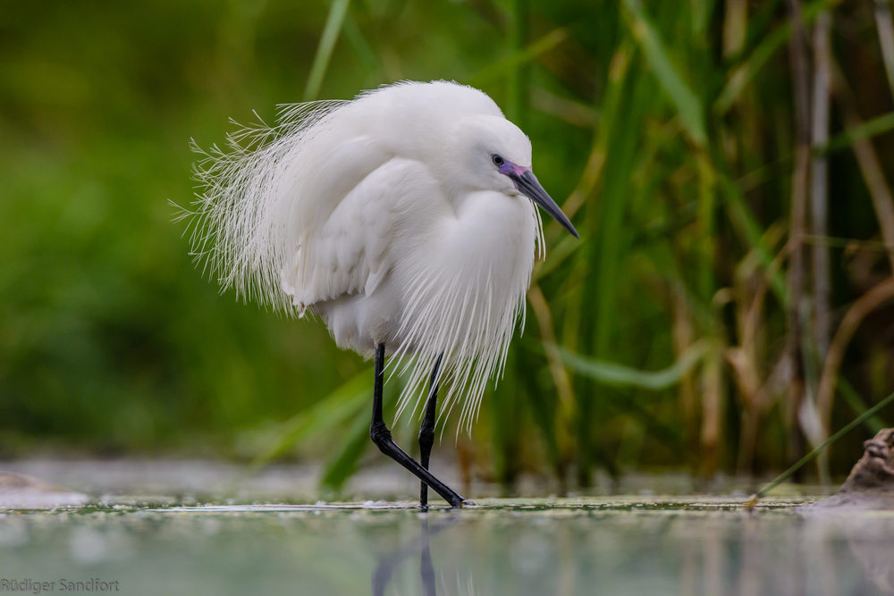 Little Egret / Seidenreiher
