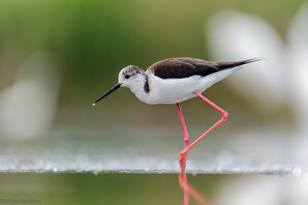 Black-winged Stilt / Stelzenläufer