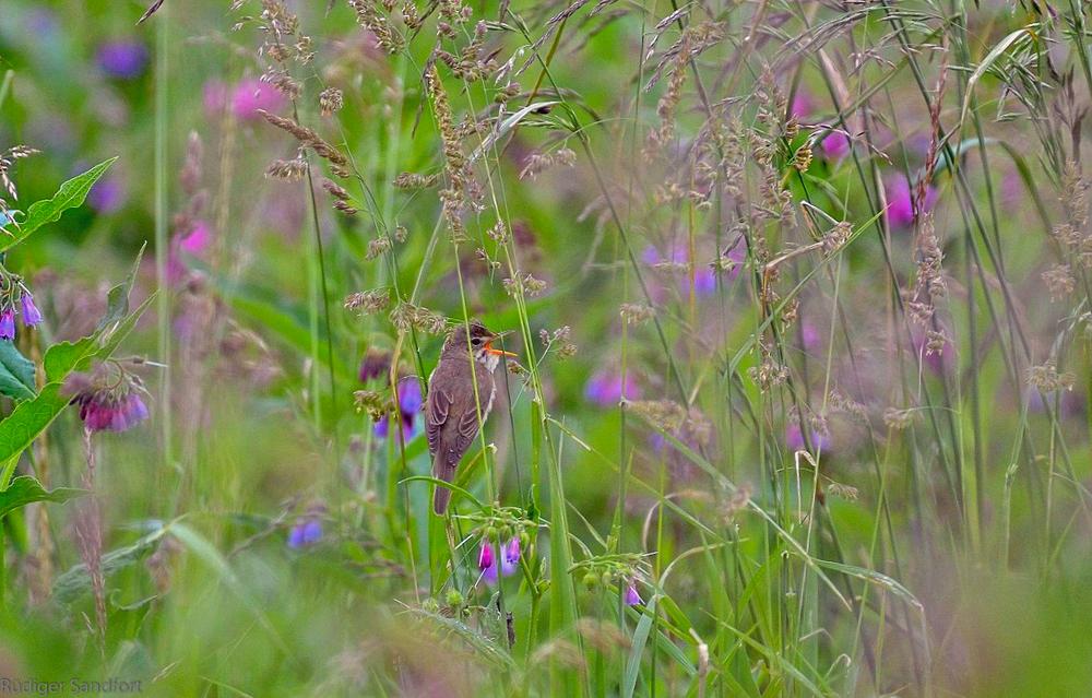Marsh Warbler / Sumpfrohrsänger