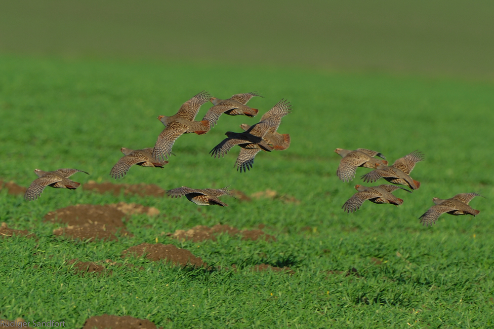 Grey Partridge / Rebhuhn