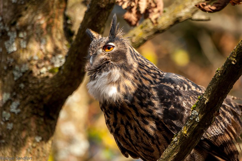 Eurasian Eagle Owl / Uhu