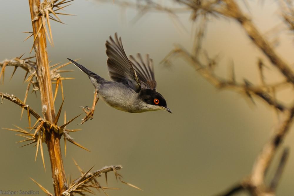 Sardinian Warbler / Samtkopf-Grasmücke