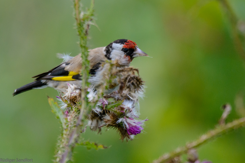 European Goldfinch / Stieglitz