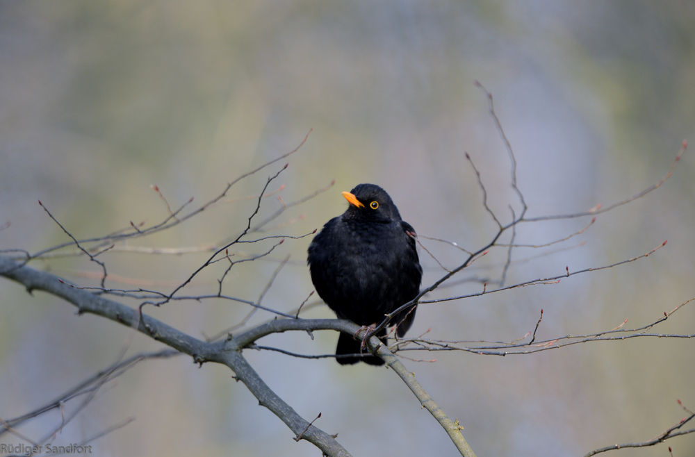Common Blackbird / Amsel