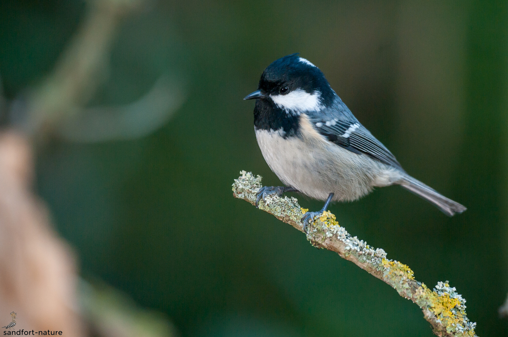 Coal tit / Tannenmeise