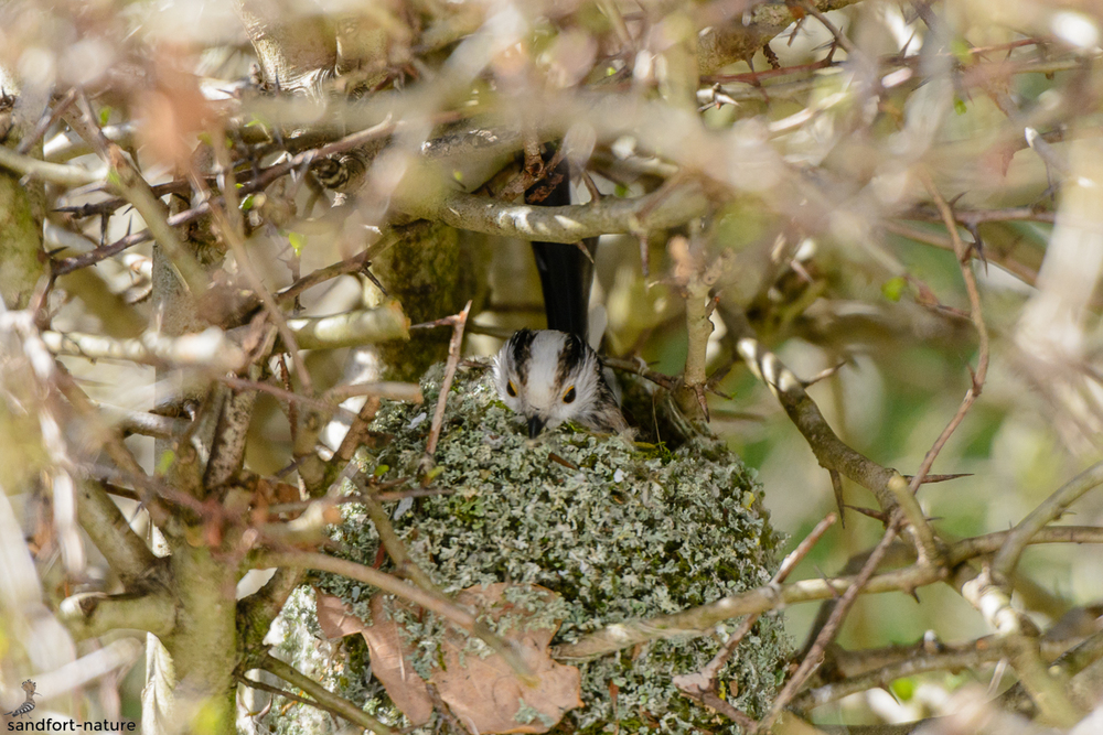 Long-tailed Tit / Schwanzmeise