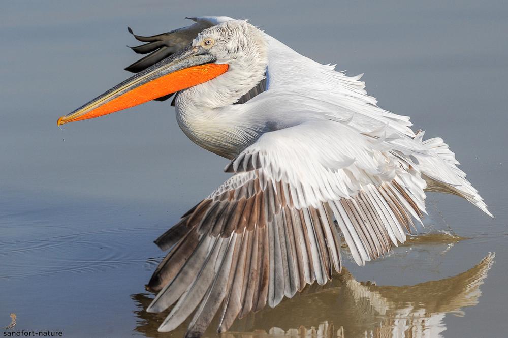 Dalamtian pelican / Krauskopfpelikan
