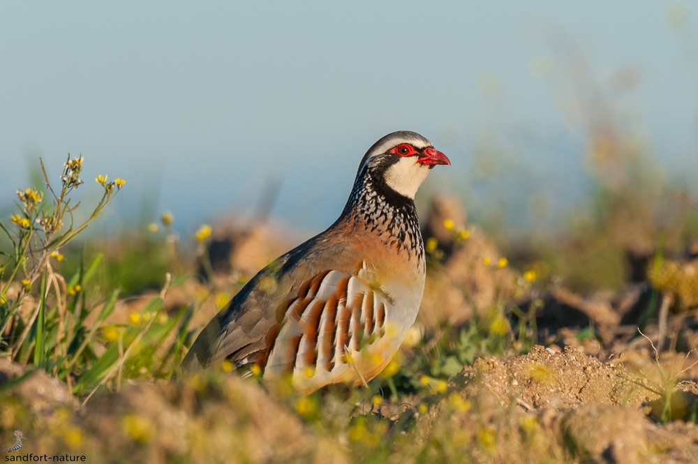 Red-legged partridge / Rothuhn
