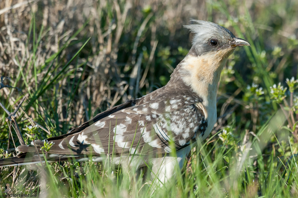 Great spotted cuckoo / Häherkuckuck