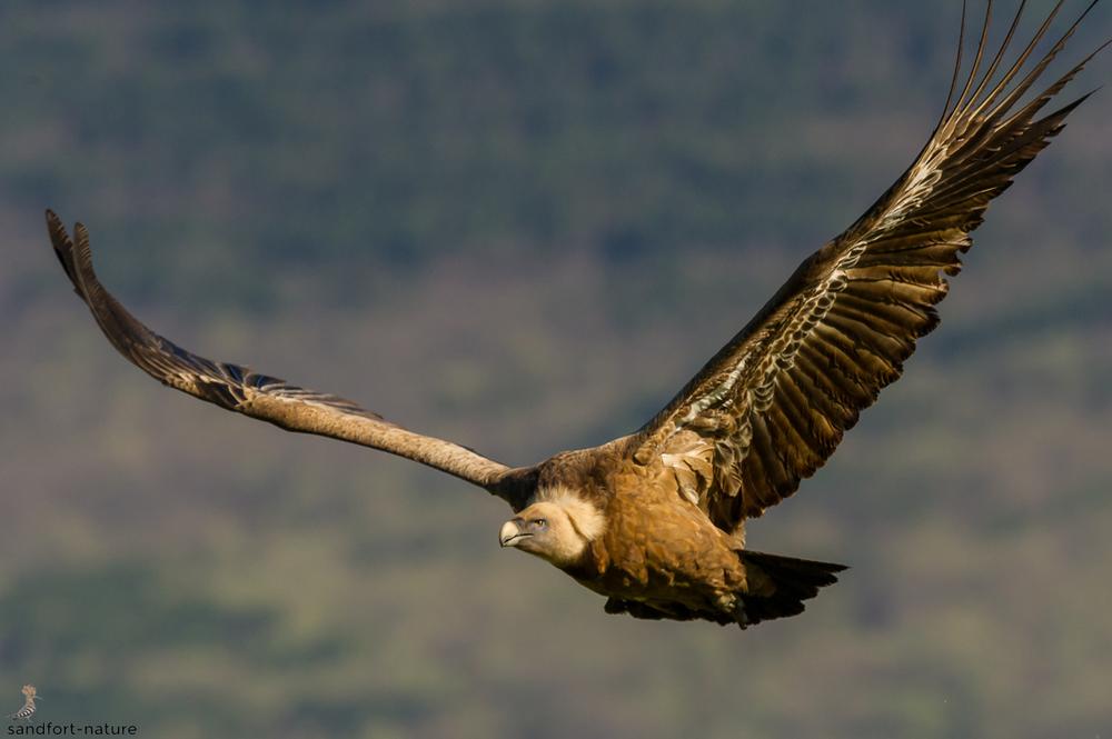 Griffon vulture / Gänsegeier