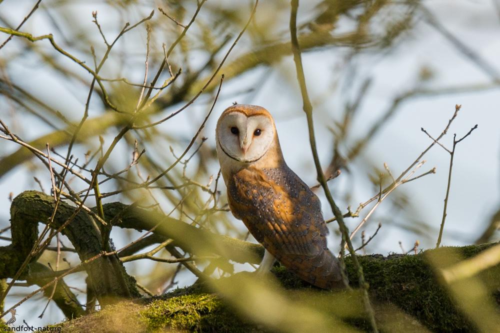 Barn owl / Schleiereule