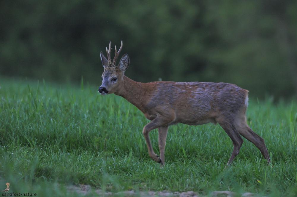 European roe deer / Rehbock