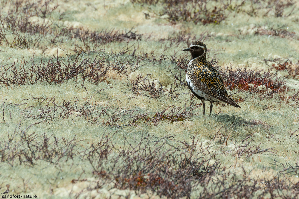 European golden plover / Goldregenpfeifer