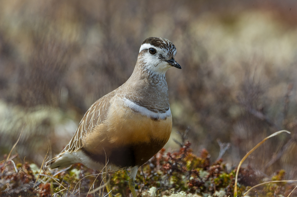 Eurasian dotterel / Mornellregenpfeifer