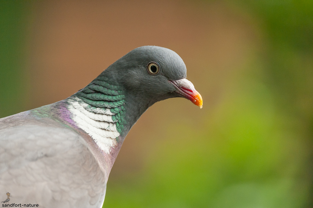 Common wood pigeon / Ringeltaube