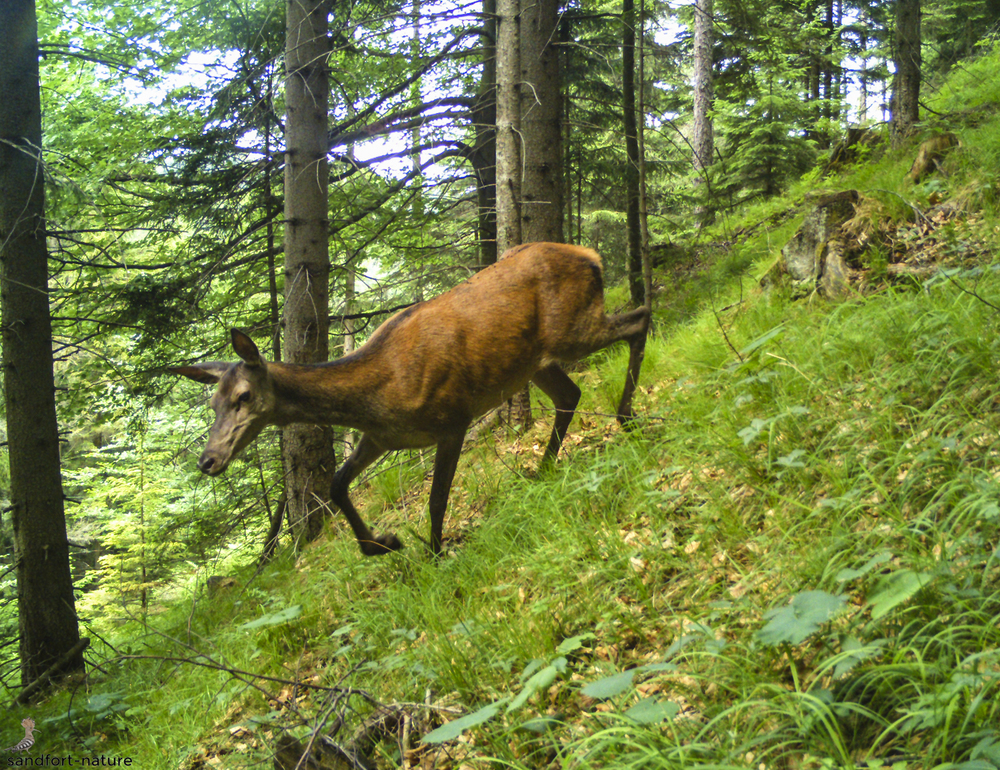 red deer hind / Rotwild Alttier