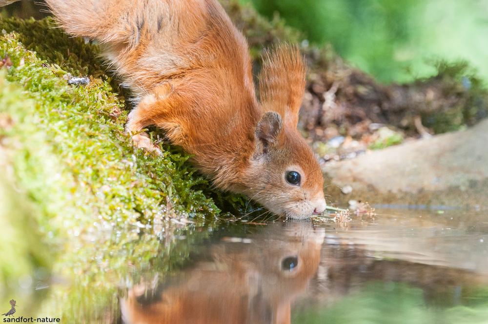 Red squirrel / Eichhörnchen