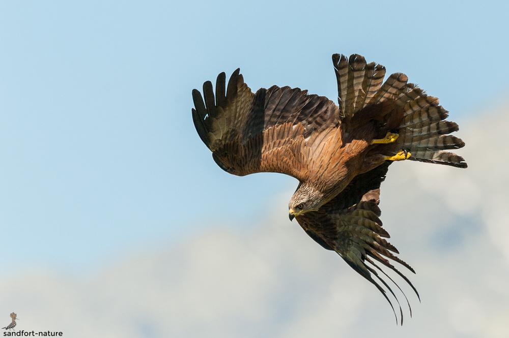 Black kite / Schwarzmilan