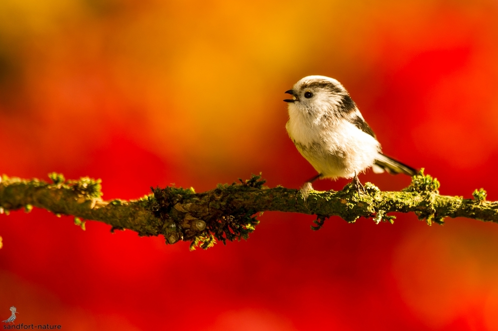 Long-tailed tit | Schwanzmeise