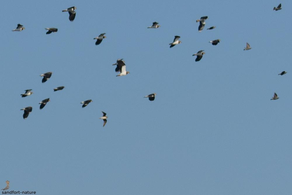 Black-winged pratincole | Schwarzflügelbrachschwalbe
