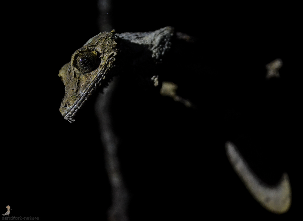 Madagascar leaf tailed gecko