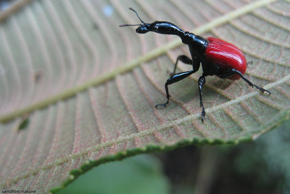 Giraffe weevil (female)