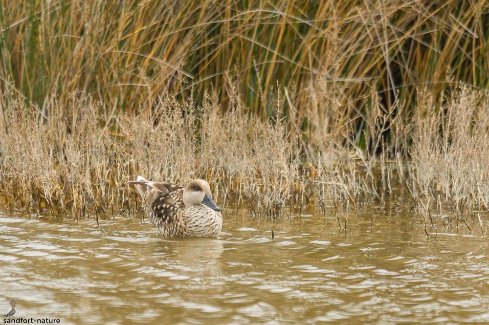 Marbled duck | Marmelente