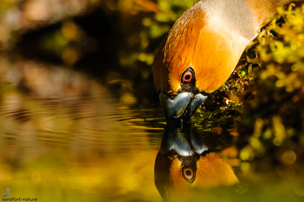 Hawfinch | Kernbeisser