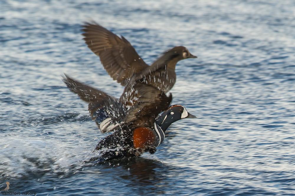 Harlequin duck | Kragenente