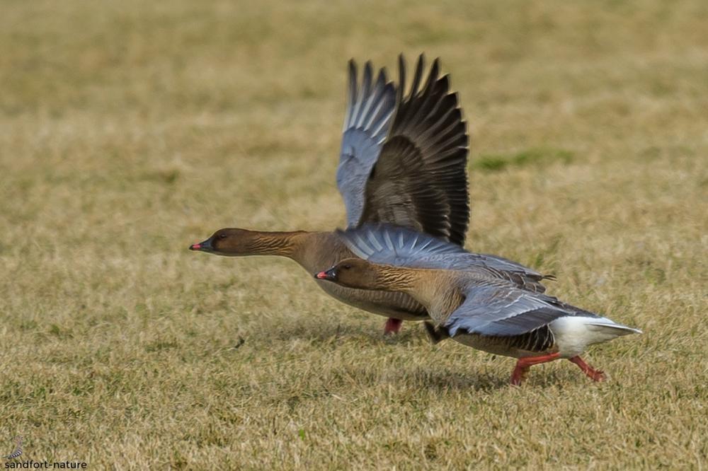 Pink footed geese | Kurzschnabelgans