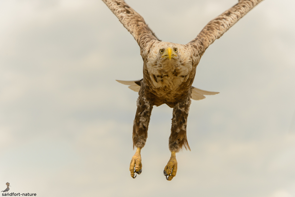 White-tailed eagle | Seeadler