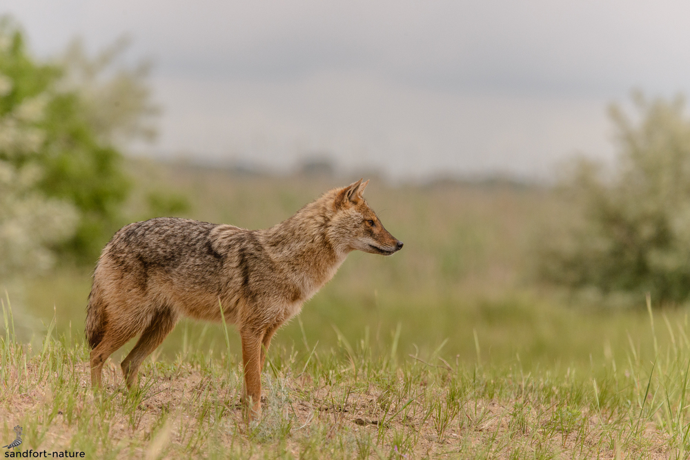 Golden jackal | Goldschakal