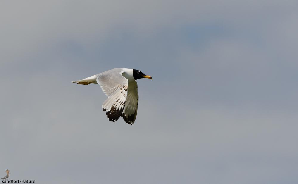Palla's gull | Fischmöwe