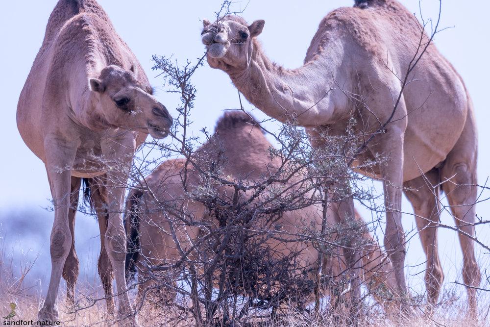 Camel | Oman