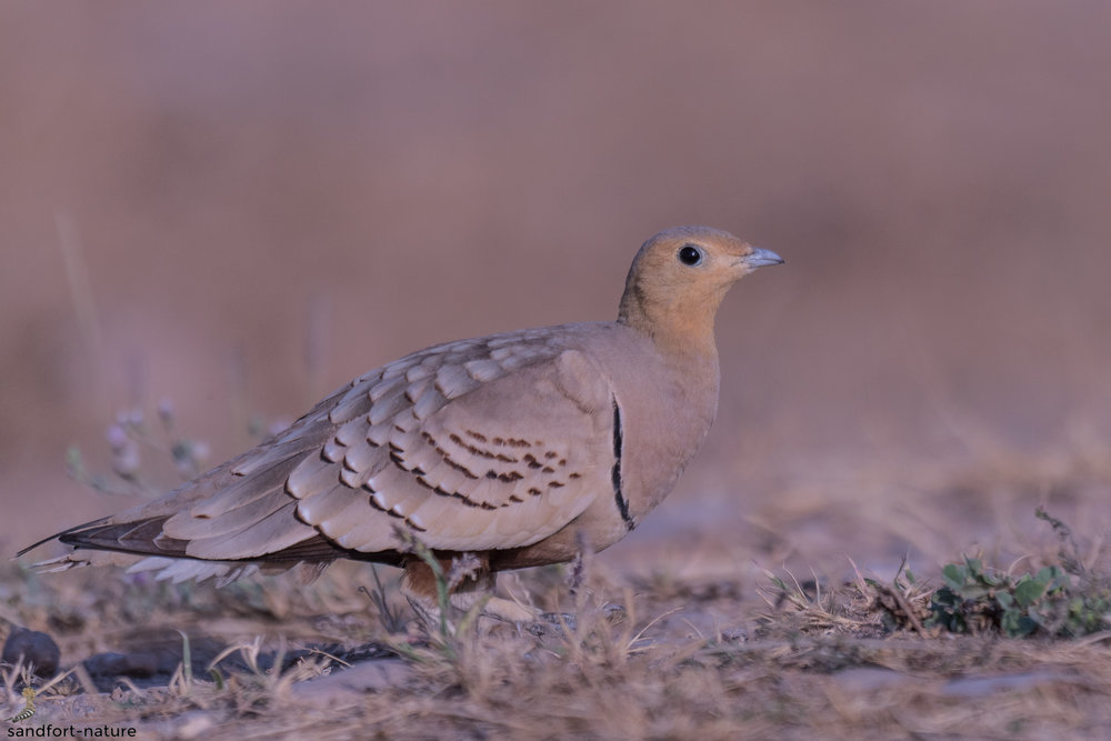 Spotted Sandgrouse | Senegal Flughuhn