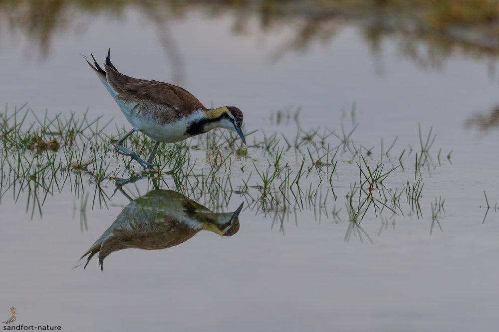 Pheasant-tailed Jacana | Fasanenblatthühnchen