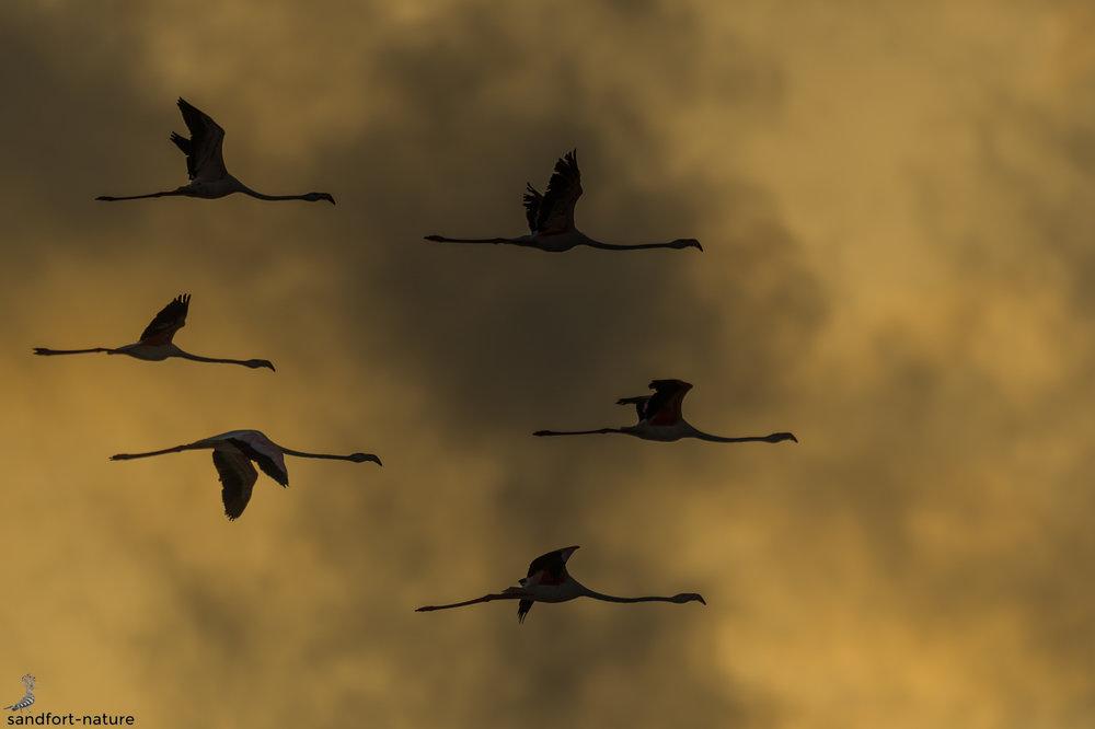 Lesser Flamingo | Kleiner Flamingo