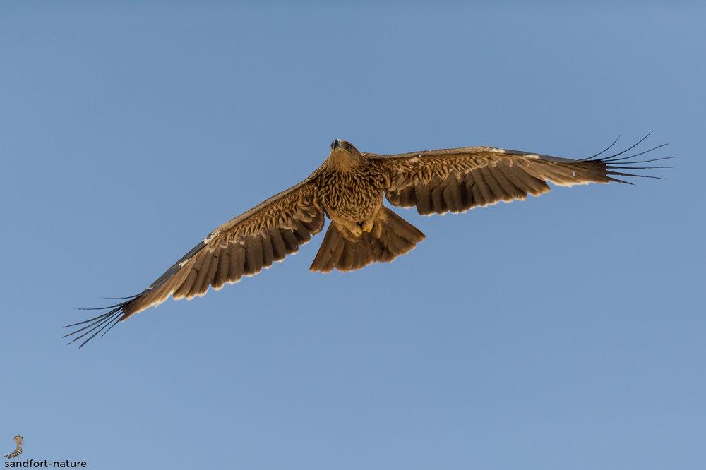 Eastern Imperial Eagle | Kaiseradler