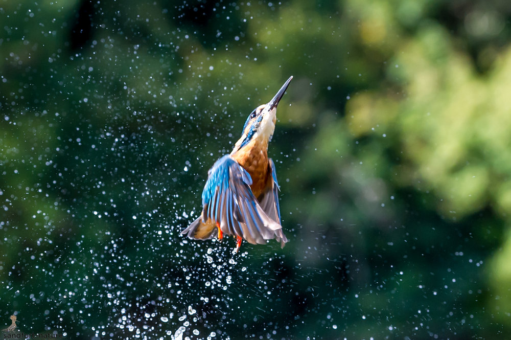 kingfisher | Eisvogel