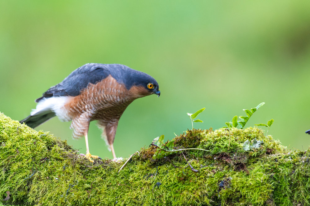Sparrow hawk | Sperber