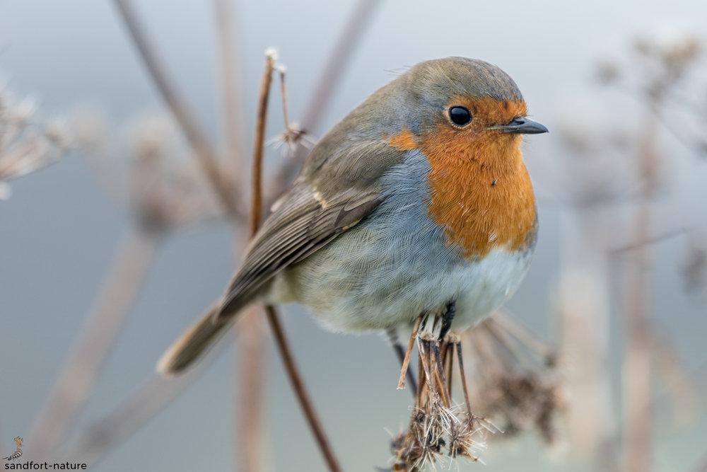 Robin | Rotkehlchen