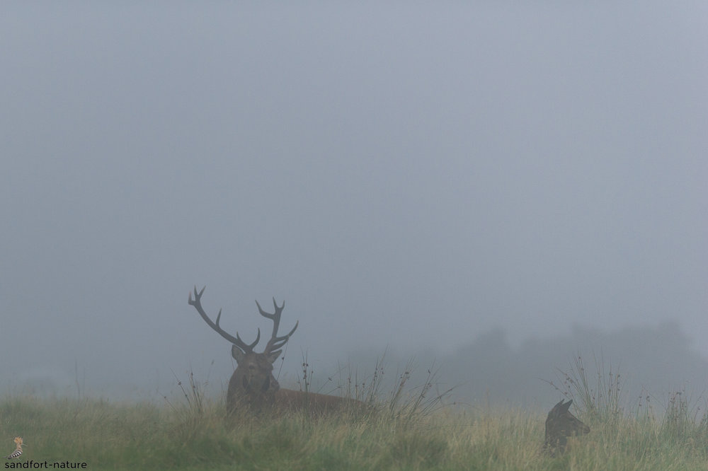 red stag | Isle of Arran | Scotland