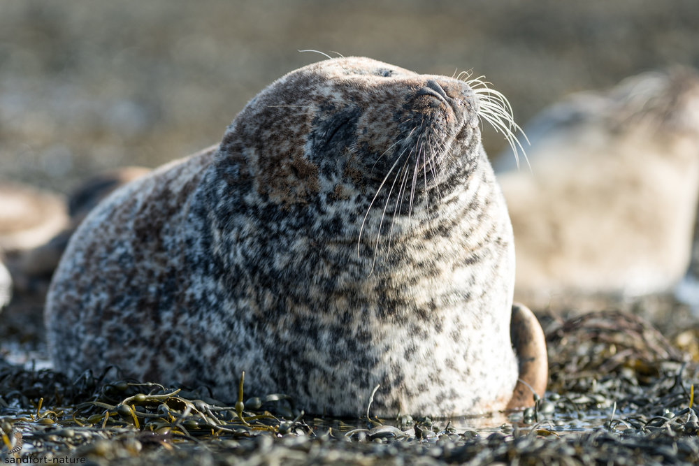 Harbour seal | Seehund