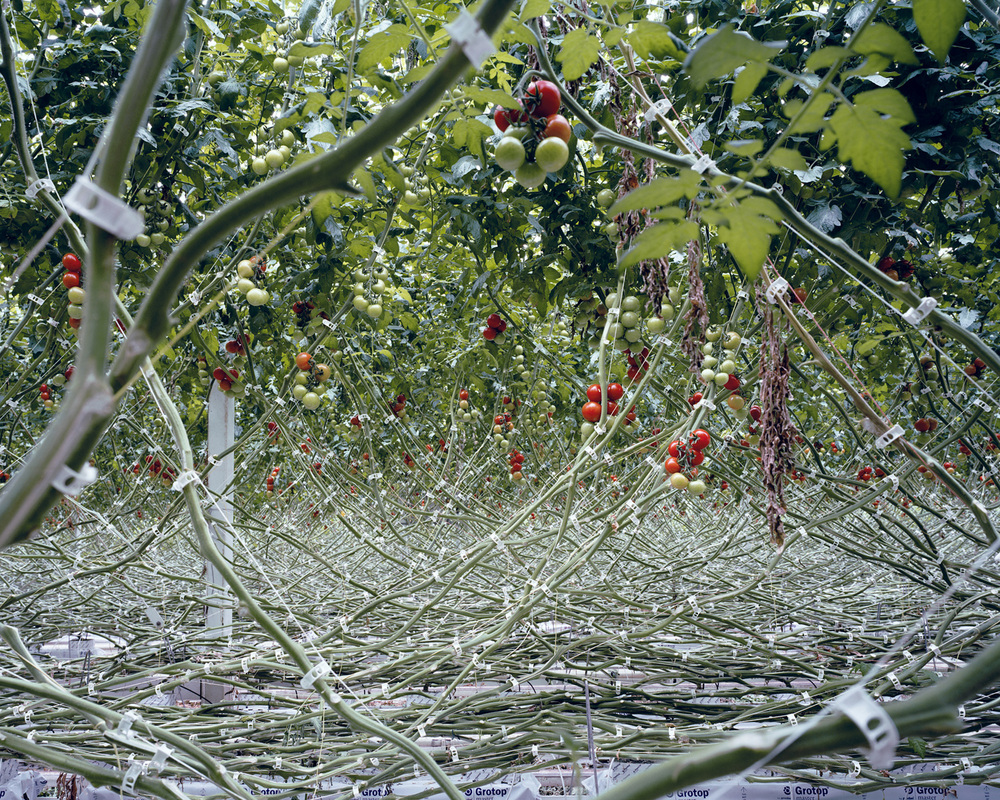 Tomatoes I, 2012  In order to have total control over the nutrients and the irrigation, tomatoes are planted in sterile material such as rock wool and not in soil. By doing so the tomatoes are according to the growers less likely infected by diseases, a smaller amount of pesticides is needed and the yield can be increased.