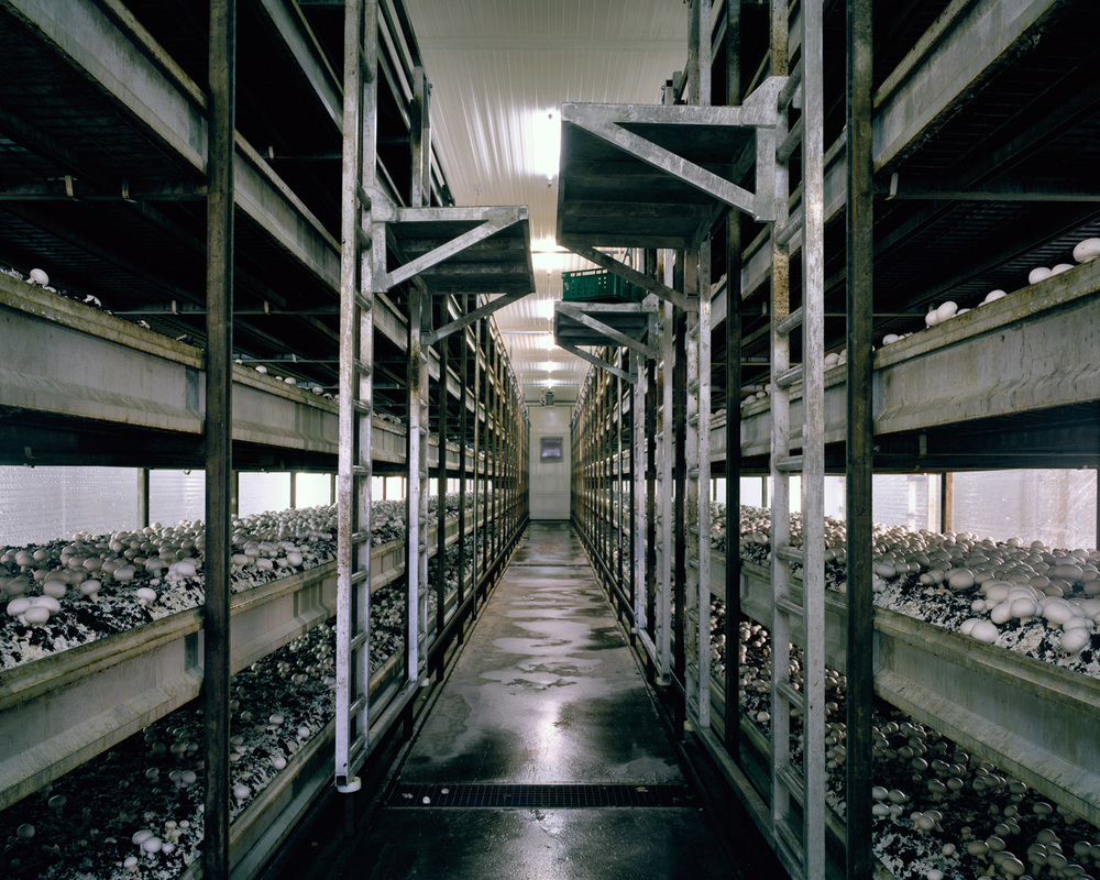 Mushrooms, 2012  To allow an all year round production of mushrooms and to increase the yield, mushrooms are grown in a microclimate inside growing rooms. A stacking system maximizes the production per square meter.